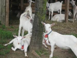 Long Island Goats, We had their cheese for dinner - yum!