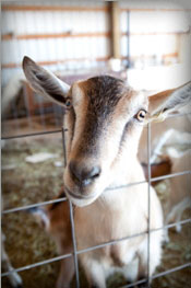 Tumalo Farms has French Alpine and Saanen (Swiss) goats.